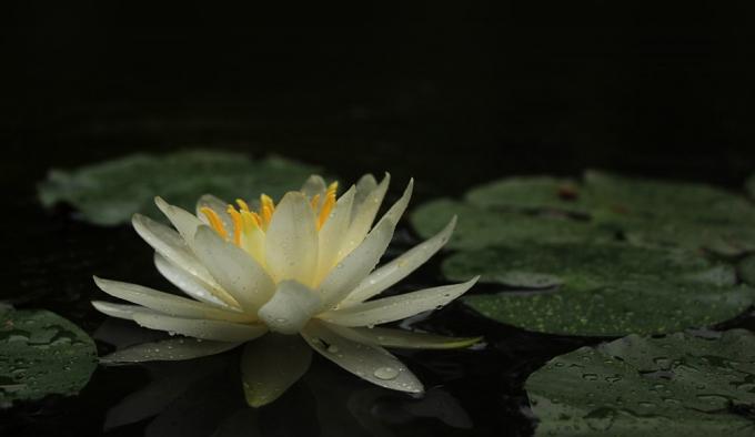 Blüte der weißen Seerose